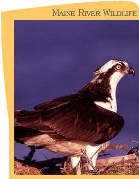 Osprey - (Photo by Tom Arter)
