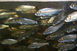 Alewives, image by John Burrows